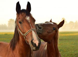 zwei Pferde kuscheln
